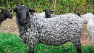 Каракулевая овца