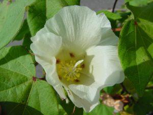 Gossypium растение
